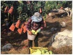 """百果园暖春助农行动开启,保证品质也不让""""老实"""